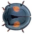 Chilocorus renipustulatus (Scriba, 1790) (30289194342).png