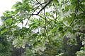 Chionanthus virginicus - Norfolk Botanical Garden - 3.jpg