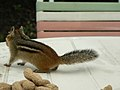 Chipmunk on the table (1310292721).jpg