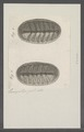 Chiton spec. - - Print - Iconographia Zoologica - Special Collections University of Amsterdam - UBAINV0274 081 06 0022.tif