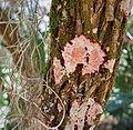 Christmas Lichen (Cryptothecia rubrocinta) (38265040254).jpg