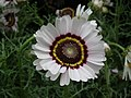 Chrysanthemum from Lalbagh flower show Aug 2013 8335.JPG
