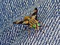 Chrysops relictus (Horse-fly sp.), Arnhem, the Netherlands.jpg