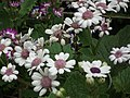 Cineraria from Lalbagh flower show Aug 2013 8226.JPG