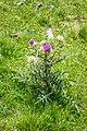 Cirsium eriophorum in PNR Pyrenees ariegeoises 01.jpg