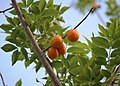 Ciruelas amarillas. Frutos de la región.jpg
