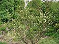 Citrus japonica3.jpg