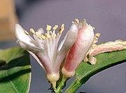Citrus reticulata flower.jpg
