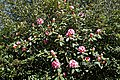City of London Cemetery and Crematorium ~ pink flowering rhododendron 01.jpg