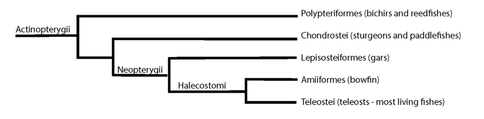 Cladogram of basal actinopterygians and neopterygians