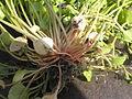 Claytonia perfoliata R.H (13).JPG