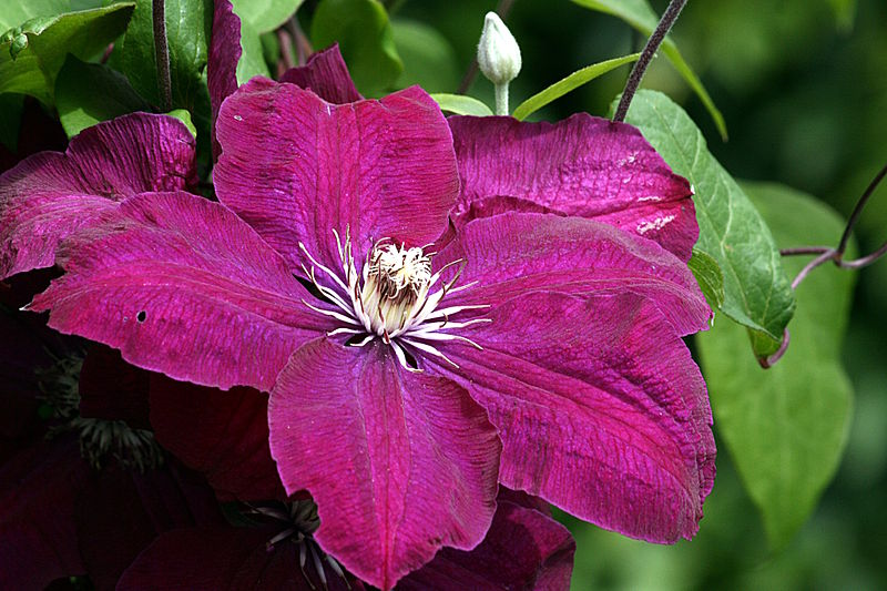 datei clematis rouge cardinal img 5375 jpg wikipedia. Black Bedroom Furniture Sets. Home Design Ideas