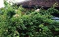Climbing rose Clavering Essex England.jpg