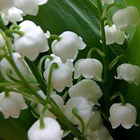 C. majalis, liljekonvalj