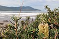 Close up of silver Banksia at Cloudy Bay, Bruny Island (33916984265).jpg