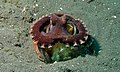 Coconut Octopus (Amphioctopus marginatus) (8468811738).jpg