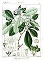 Coffea grumelioides Rungiah.jpg