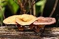 Cogumelos sobre tronco em decomposição.jpg