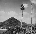 Collectie Nationaal Museum van Wereldculturen TM-20006308 Bloeiende agave op het schiereiland waarop Fort Amsterdam is gevestigd, met St. Peters Hill op de achtergrond Sint Maarten Boy Lawson (Fotograaf).jpg