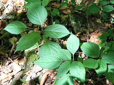 Collinsonia canadensis SCA-4380.jpg