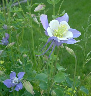 Aquilegia coerulea - Colorado blue columbine