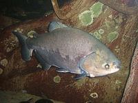 Colossoma-brachypomus