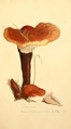 Coloured Figures of English Fungi or Mushrooms - t. 134.png