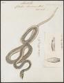 Coluber liocercus - 1734-1765 - Print - Iconographia Zoologica - Special Collections University of Amsterdam - UBA01 IZ12000111.tif