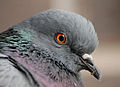Columba livia (Madrid, Spain) 004.jpg