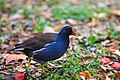 Common-moorhen-1.jpg
