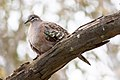 Common Bronzewing (Phaps chalcoptera) (8079570682).jpg