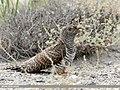 Common Cuckoo (Cuculus canorus) (50789056017).jpg