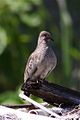 Common Ground-Dove (6907343195).jpg