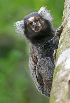 Common Marmoset 1280.jpg