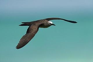Brown noddy Species of bird