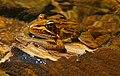 Common River Frog (Amietia angolensis) (32807356120).jpg