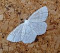 Common Wave.^ Cabera exanthemata - Flickr - gailhampshire.jpg
