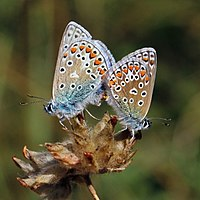Common blues (Polyommatus icarus) mating, male (l) and female (r).jpg