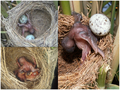 Common cuckoo parasitic brood.png