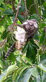 Common marmoset (Callithrix jacchus), Atlantic forest, northeastern Bahia, Brazil (7760160056).jpg