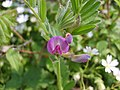 Common vetch - geograph.org.uk - 415868.jpg