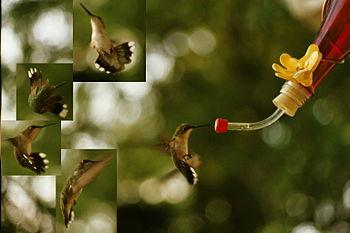 cuantos latidos da el corazon de un colibri por segundo