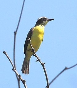 Conopias parvus - Yellow-throated Flycatcher.JPG