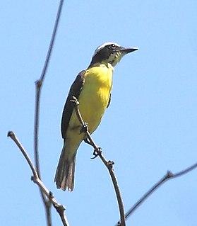 Yellow-throated flycatcher species of bird