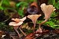 Contumyces rosellus (M.M. Moser) Redhead, Moncalvo, Vilgalys & Lutzoni 321167.jpg