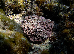 Corallinaceae sp.