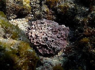 Coralline algae - Image: Corallinaceae sp