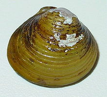 Shell of Corbicula fluminea