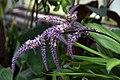 Cordyline fruticosa Glauca 2zz.jpg