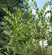 Coriaria myrtifolia 03.jpg